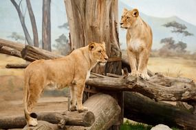 standing lions in wildlife