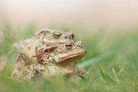 Mating green Frogs in grass