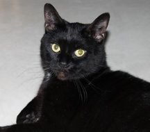 domestic black cat with yellow eyes