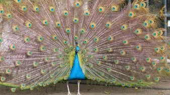 peacock with tail like a wheel