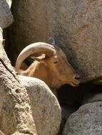 wild goat among the stones