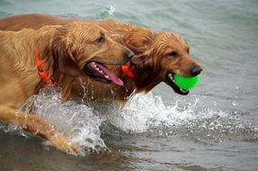 playful dogs in the water