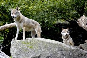 Wolves on the rocks