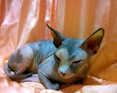 cat like a sphinx
