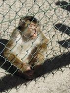 cute Monkey sits on ground at wire grid fence