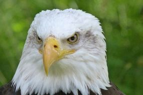 bald eagle with a menacing look closeup