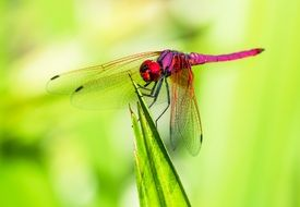 filigree pink dragonfly