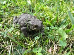 common toad in summer