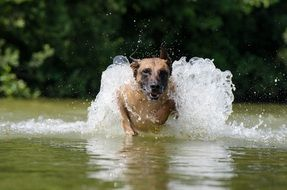 frisky malinois in the water