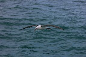 albatross flies low over the water
