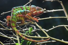 chameleon is sitting on a tree branch