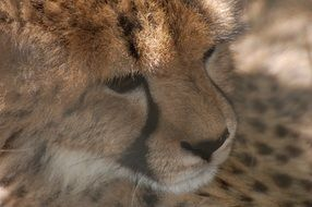 portrait of a cheetah Animal Africa Spots Fur