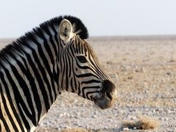 striped zebra on the background of the desert in Namibia
