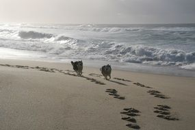 Dogs are running on the beach