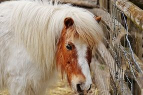 White pony with long mane on the farm