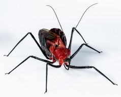 exotic black beetle with red head