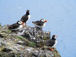 puffins on the sea cliff