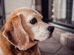 Beagle Dog, side view of head