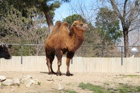 brown camel at the zoo