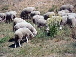 a flock of sheep in the pasture eat grass