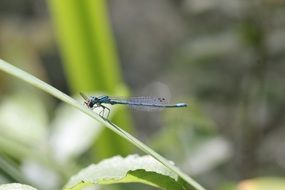blue dragonfly in wild nature