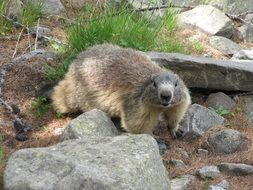 cute marmot in wildlife