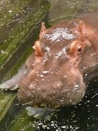 hippo in dirty water