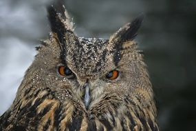 portrait of a formidable owl