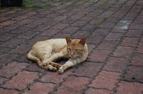 ginger Cat laying