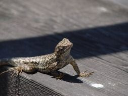 Picture of the Lizard