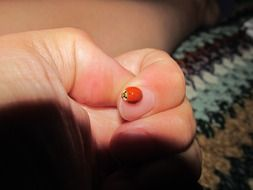 ladybug on the finger-palm