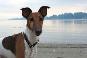 Smooth Fox Terrier dog