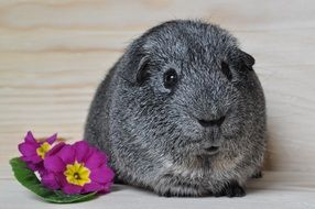 guinea pig with grey smooth fur