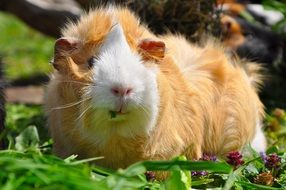 white and red fluffy guinea pig