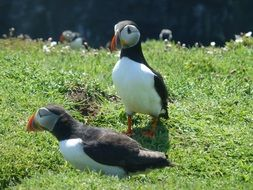 couple of wild puffins
