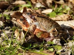 mating of frogs in the wild