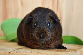 guinea pig with black eyes