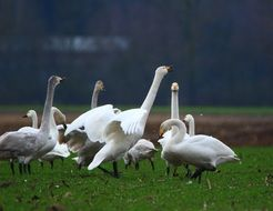 flock of whooper swans on the field