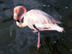 pink flamingo with a big beak stands in the water