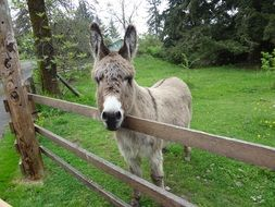 donkey stands behind a wooden fence