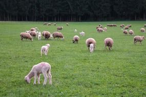 a flock of lambs and sheep in a meadow