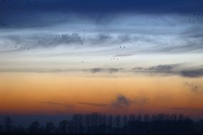 flock of wild flying geese at sunset