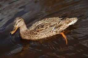 gray female duck in the water