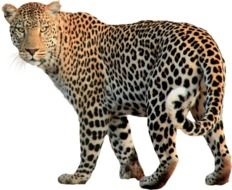 Isolated Animal Leopard