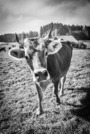 Cow black and white Portrait