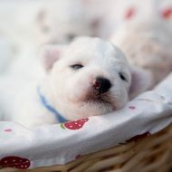 sweet white bichon puppies