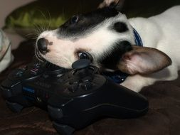 Cute black and white puppy with joystick