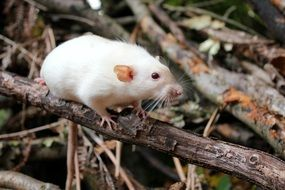 white rat on dry branches close-up