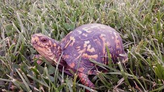 turtle among tall green grass close-up