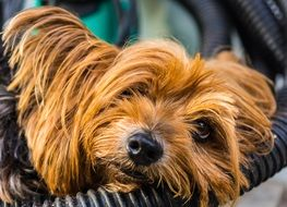 Yorkshire terrier resting and gaining strength